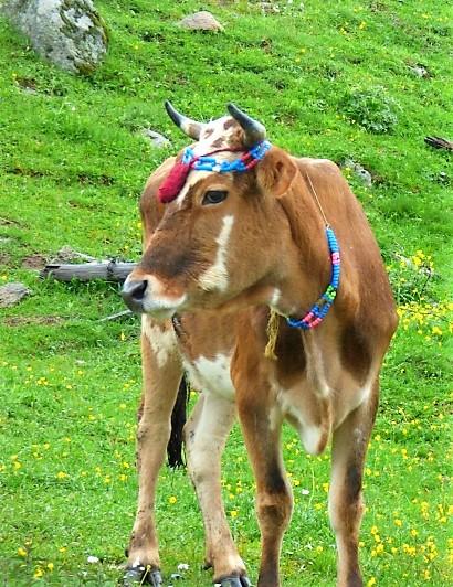 38 Vache à collier de perles